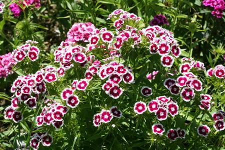Sweet William growing in a garden