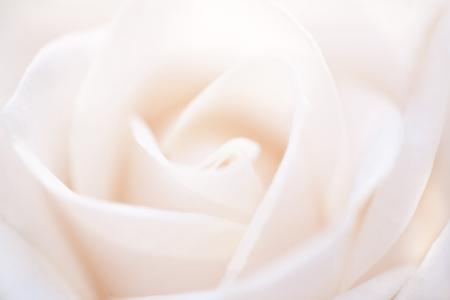 Soft White Rose Background 스톡 콘텐츠 - 115725436