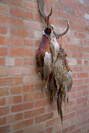 Dead Pheasants Hanging on a Wall After being shot Stock Photo