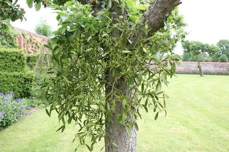 Mistletoe growing naturally on a tree trunk in an English garden Stock Photo