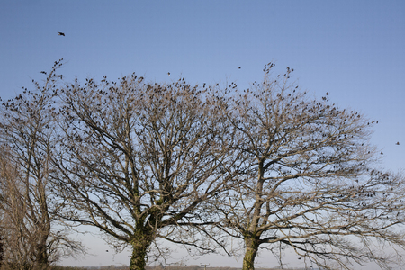 Large Flock of Starlings Roosting in a Tree Resting from Migration