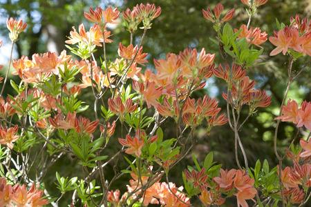 Orange Azaleas growing on a bush in a large garden in England 스톡 콘텐츠