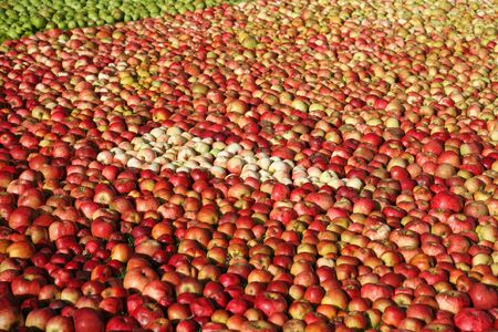 Large Harvest of Apples Laid out on the ground 스톡 콘텐츠