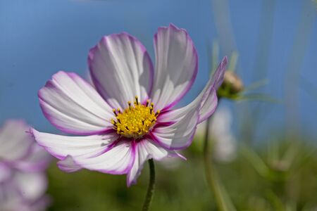 Pink & White Cosmos growing in a garden on a summer's day