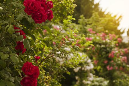 English Rose Garden on a Summer Day with Sunlight Glow 스톡 콘텐츠