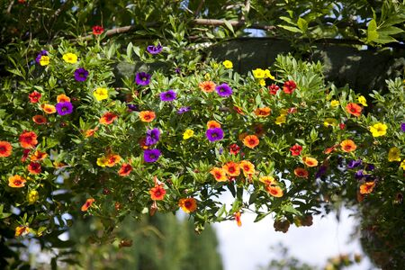 Colorful petunia hanging over an arch