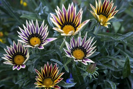 Daisy like flower with striped purple and white petals - Gazania 스톡 콘텐츠