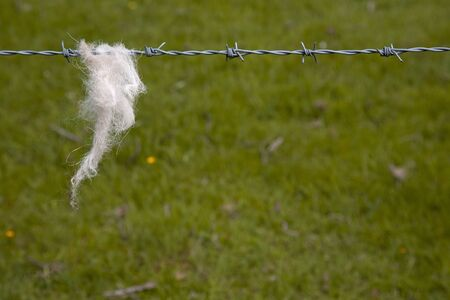 Wool from a Sheep snagged on a barbed wire fence around a field