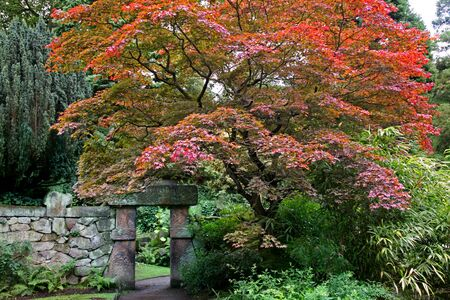 Japanese Acer Tree in Autumn Colours