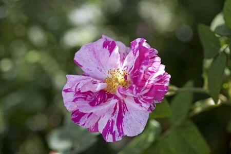 Rosa Mundi Old Rose Pink & White