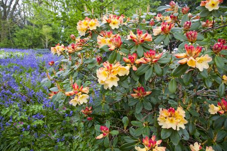 Rhododendron bush and bluebells growing in an English