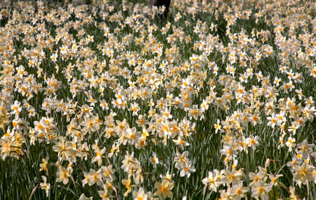 Field of white daffodils with yellow trumpets