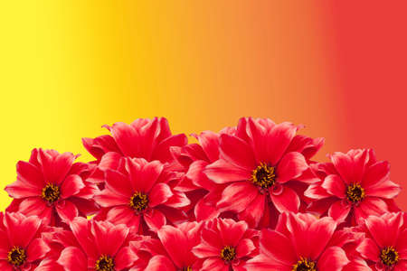 Red Dahlia flowers isolated on a bright yellow and orange sunny background 스톡 콘텐츠