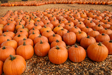 Many pumpkins recently harvested are grouped together on wood chips waiting for customers to pick theirs for Halloween  Stock Photo