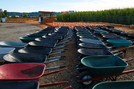 Kent, WA, USA October 2, 2016: Rows of wheel barrows waiting for customers to use them to haul their chosen pumpkins from the field