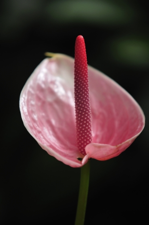 phallic: A beautiful Anthurium flower over a dark background  Stock Photo