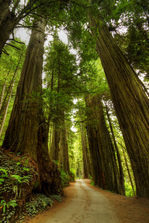 huge tree: Redwood Forest Road
