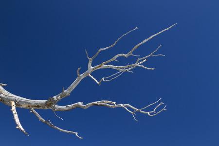 dead tree: Bristlecone Pine Branch
