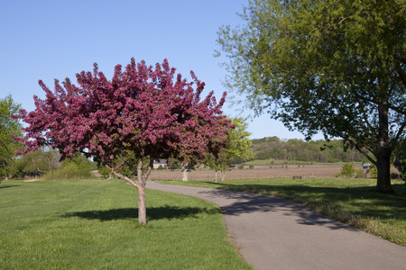 Crab Apple Tree & Bike Path