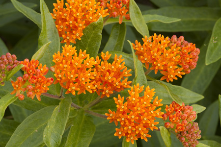 Butterfly Weed Flowers Stock Photo