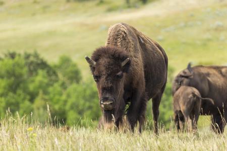Buffalo In North Dakota Grassland