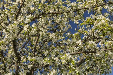 Fruit Tree Flowers In Spring Stock Photo