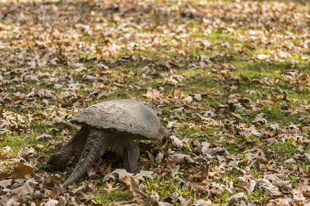 Turtle Walking In Autumn