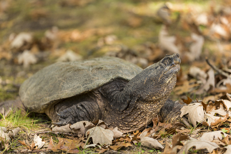 Turtle In Autumn - A turtle with a closed eye in autumn.