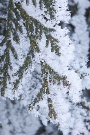 Snow Covered Pine Tree Branch Stock fotó