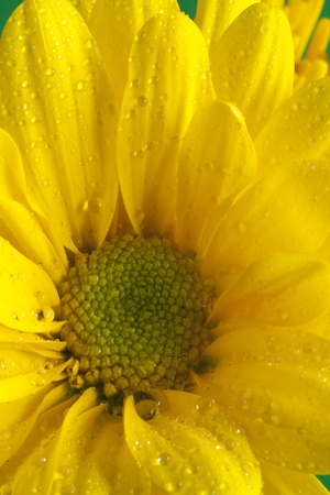Wet Yellow Daisy Flower