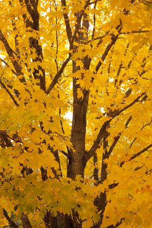 Autumn Maple Tree Closeup 版權商用圖片