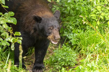 Black Bear Coming Out Of The Woods At A Refuge Stock Photo