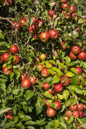 Apple Tree Closeup 版權商用圖片