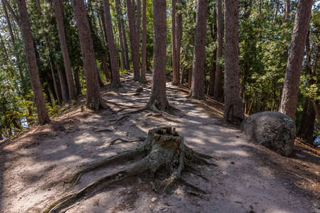Hiking Trail In A Pine Tree Forest