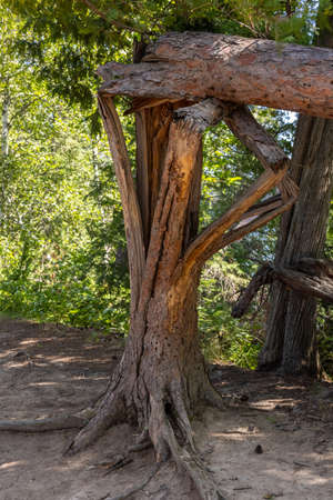 A pine tree that has fallen and split in a unique way.