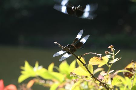 zygoptera: Two dragonflies on a branch