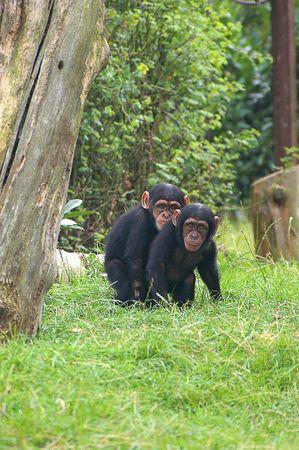 chimpances: Los amigos �ntimos - chimpanc�s en ChesterZoo, Reino Unido