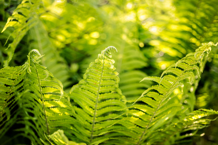 Beautiful fern leaves with fiddleheads green foliage natural floral fern bush background in sunlight.