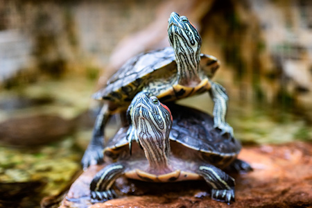 Two turtles in the forest. Turtle as symbol of wisdom, patience and longevity Фото со стока
