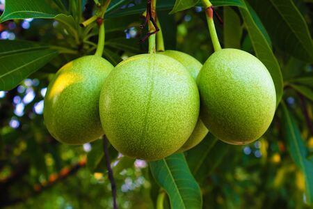 Fruit of Suicide tree or Pong-pong or Othalanga or Cerbera odollam