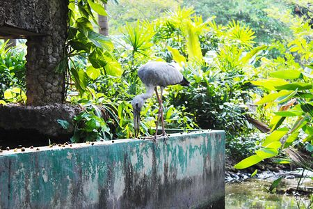 Asian open-billed stork eating a small shellfish by the cement pond in the park