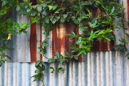 Rusty galvanized fence with ivy-covered as a background