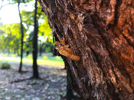 Cicada molt on tree in the park