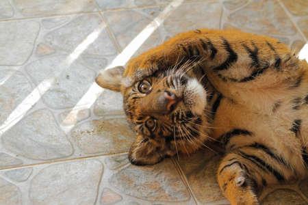 tigre bebe: cara del tigre de bebé