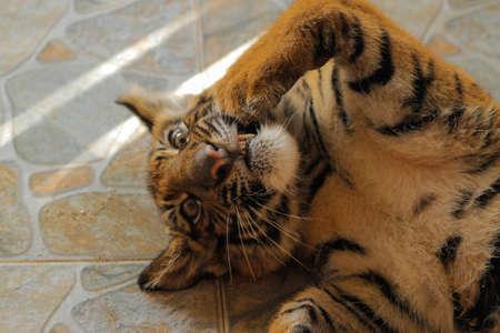 tigre bebe: Baby tiger face
