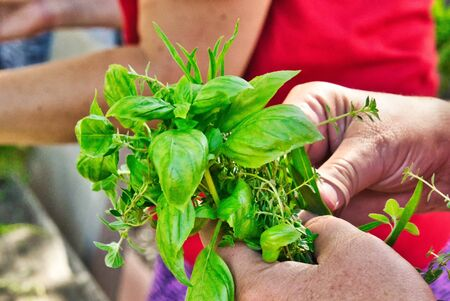 arranging small green edible bouquet in handful of organic herbs from urban garden