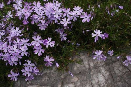 Shining star-shaped pink phlox draping over veined rock