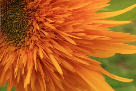 florets: Closeup of a passionate radiant sunflower with long bright orange ray florets against a fresh green background Stock Photo