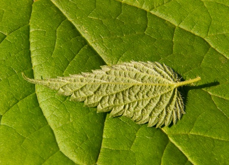 green nettle leaf closeup photo