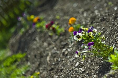 Pansies closeup in garden photo